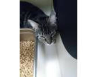 Adopt Kade a Domestic Shorthair / Mixed (short coat) cat in Portsmouth