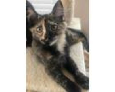 Adopt Betsy a Black (Mostly) Domestic Shorthair / Mixed cat in Los Lunas
