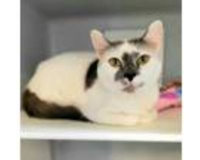 Adopt Minerva 986-21 a White Domestic Shorthair / Domestic Shorthair / Mixed cat