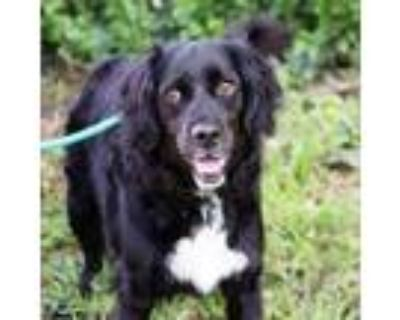 Adopt Bentley a Spaniel, Mixed Breed