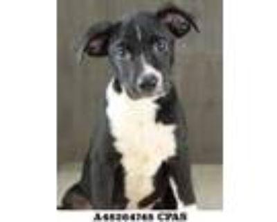 Adopt Honeycomb a Black Labrador Retriever / Mixed dog in Shreveport