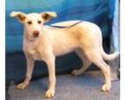 Adopt 159553 a Tan/Yellow/Fawn Labrador Retriever / Mixed dog in Bakersfield