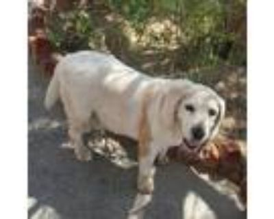 Adopt Disney a White - with Tan, Yellow or Fawn Beagle / Mixed dog in Apple