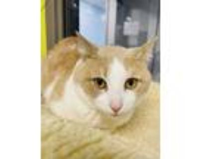 Adopt Marco a Tan or Fawn Domestic Shorthair / Domestic Shorthair / Mixed cat in