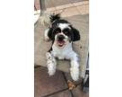 Adopt Orson a Bichon Frise / Shih Tzu / Mixed dog in Davie, FL (31570470)