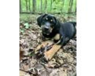 """Adopt Jimmy """"Hendrix"""" a Coonhound, Labrador Retriever"""