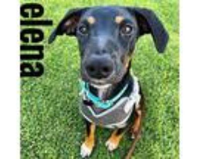 Elena, Labrador Retriever For Adoption In Cypress, California