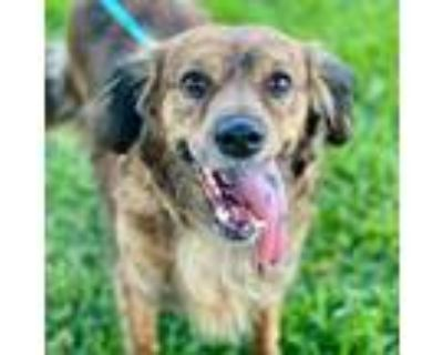 Adopt Faith 2 a Brindle - with White Spaniel (Unknown Type) / Mixed dog in