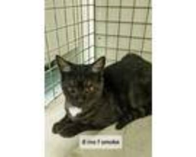 Adopt Anubis a Black & White or Tuxedo Domestic Shorthair / Mixed cat in