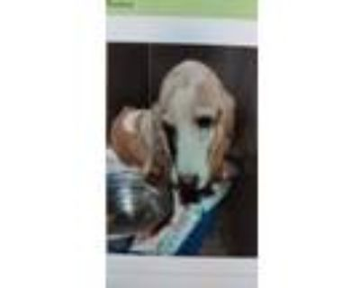 Adopt Cinco a White - with Tan, Yellow or Fawn Basset Hound / Mixed dog in