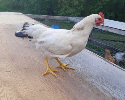 Almost 3 months old roosters