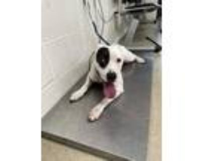 Adopt Angel a White Terrier (Unknown Type, Small) / Mixed dog in Fort Worth