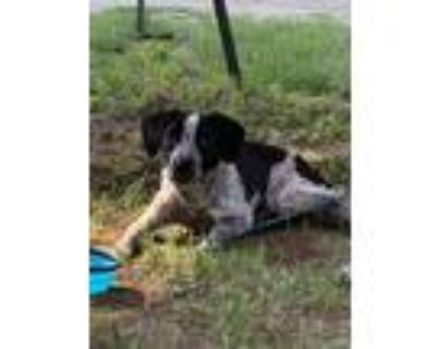 Adopt Blue a Black - with White Beagle / Welsh Terrier / Mixed dog in Saint