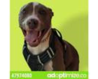 Adopt 47974080 a Pit Bull Terrier, Mixed Breed