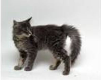 Adopt Spritz a Gray or Blue Domestic Longhair / Domestic Shorthair / Mixed cat