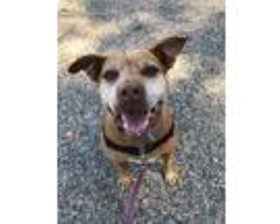 Adopt Nancy a Staffordshire Bull Terrier / Mixed Breed (Medium) / Mixed dog in