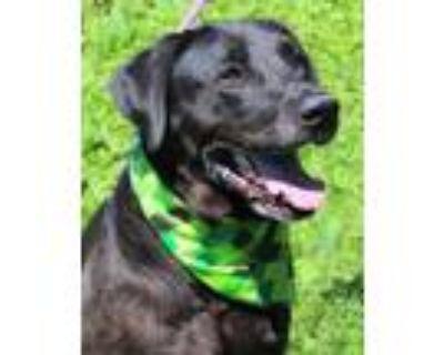 Adopt Otto (Main Campus) a Black Labrador Retriever / Mixed dog in Louisville