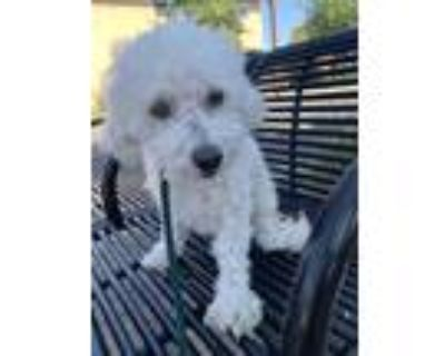 Adopt Coco Chanel a White Toy Poodle / Mixed dog in Van Nuys, CA (31863477)