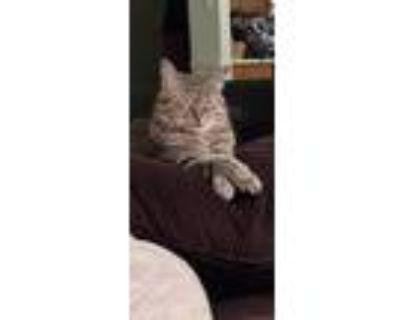Adopt Silver a Gray, Blue or Silver Tabby American Shorthair / Mixed (medium