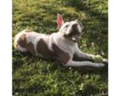 Adopt Daizy a Staffordshire Bull Terrier