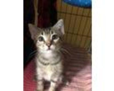 Adopt Whale Shark a Domestic Shorthair / Mixed cat in Albuquerque, NM (32035537)