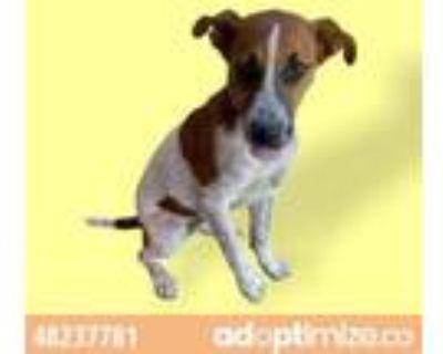 Adopt 48237781 a Australian Cattle Dog / Blue Heeler, Mixed Breed