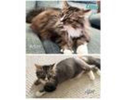 Adopt Luna a Maine Coon, Domestic Long Hair
