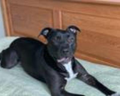 Adopt Peppa aka Dior a Black Labrador Retriever / Pit Bull Terrier dog in