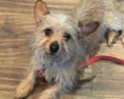 Adopt Mia a Yorkshire Terrier, Mixed Breed
