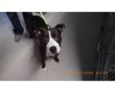 Adopt DOODLE BUG a Pit Bull Terrier, Mixed Breed