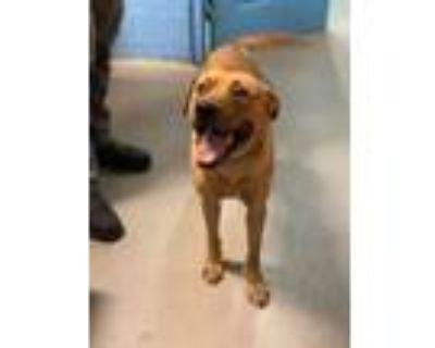 Adopt Spencer a Labrador Retriever, Hound