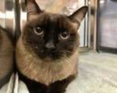 Adopt Nigel a Gray or Blue Siamese / Domestic Shorthair / Mixed cat in Palm