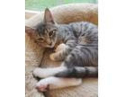 Adopt Zeus a Gray or Blue Domestic Shorthair / Domestic Shorthair / Mixed cat in