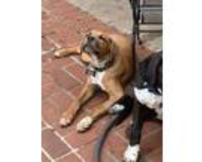 Adopt Wiggles a Cane Corso, Mastiff
