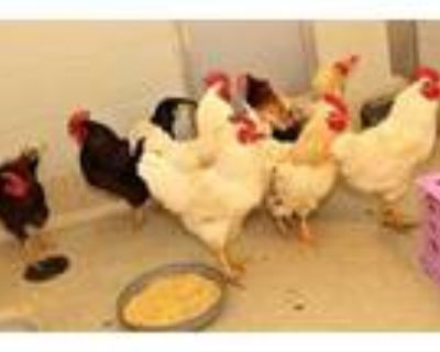 Adopt 47974676 a White Other/Unknown / Other/Unknown / Mixed bird in Bristol