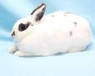 Adopt GNOCCHI a Bunny Rabbit