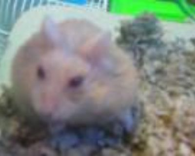 Adopt A1990356 a Hamster