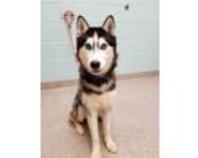 Adopt Orion a Black Husky / Mixed dog in Noblesville, IN (32108653)