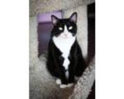 Adopt Bond a Black & White or Tuxedo Domestic Shorthair (short coat) cat in