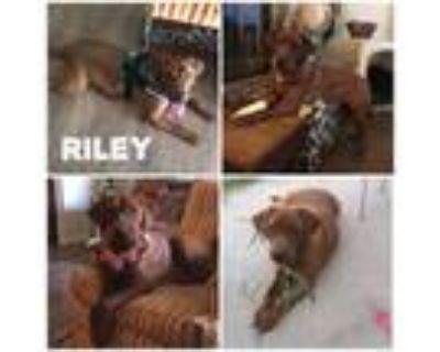 Adopt Riley a Labrador Retriever
