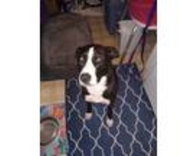 Adopt Zeus a Black - with White American Pit Bull Terrier / Husky / Mixed dog in