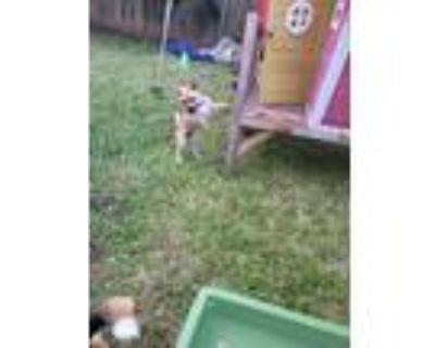Adopt Arlo a Tan/Yellow/Fawn Pug / Husky / Mixed dog in Pipe Creek