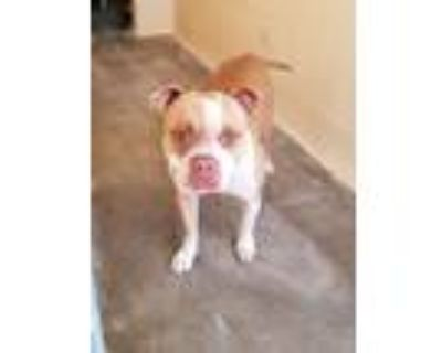 Adopt KC21-190 a American Staffordshire Terrier