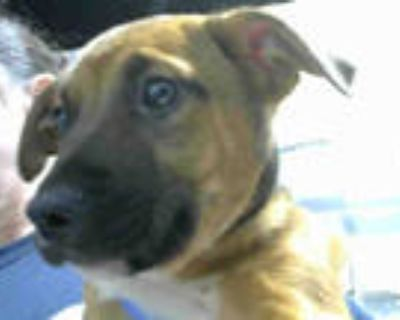 Adopt BARON a Brown/Chocolate - with Black American Pit Bull Terrier / Mixed dog