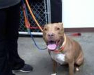 Adopt OLYMPIA a Pit Bull Terrier