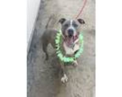 Adopt Jewels a Brindle - with White American Staffordshire Terrier / Mixed dog
