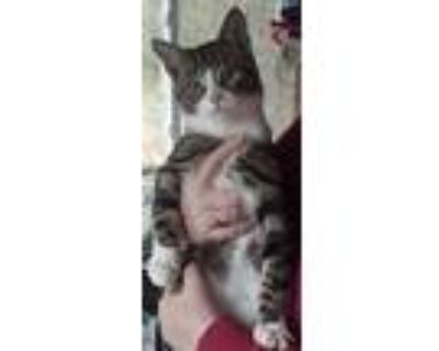 Buster & Mickey, Domestic Shorthair For Adoption In Clementon, New Jersey