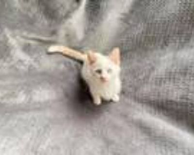Maurice, Domestic Shorthair For Adoption In Avon, Indiana