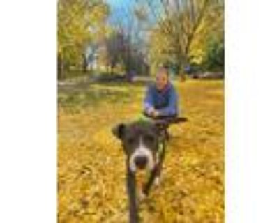 Adopt Rover a Gray/Blue/Silver/Salt & Pepper Mixed Breed (Large) / Mixed dog in