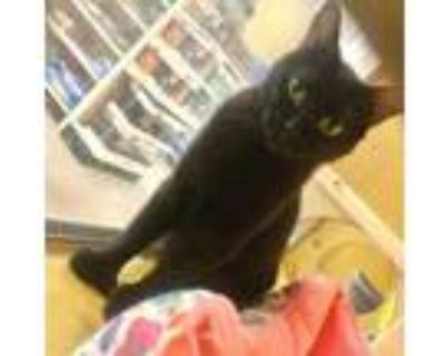 Adopt Anabel a Domestic Short Hair